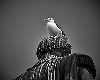 Seagull on a Statue. Afternoon Walkabout in Lisbon. Image taken with a Nikon 1 V3 camera and 70-300 mm VR lens.