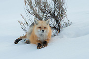 Red Fox (Vulpes vulpes), Yellowstone National Park, Wyoming