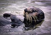 A southern sea otter (Enhydra lutris nereis)  in Monterey Bay, California.