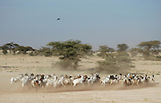 A herd of goats are herded across the dry and arid desert in Northern Kenya..Kenya, Eastern Kenya, Africa.© Demelza Cloke