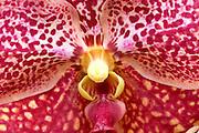 Macro Orchid