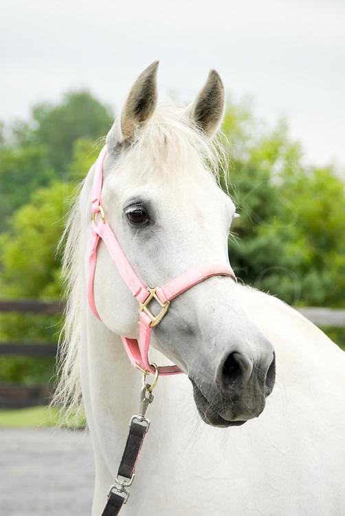 Horse in pink halter, a very feminine Arabian mare head shot wearing special tack, looking at camera, Pennsylvania,  PA, USA.