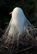 A great white egret perches on its nest on an island in the Ibis Pond at Pinckney Island National Wildlife Refuge.