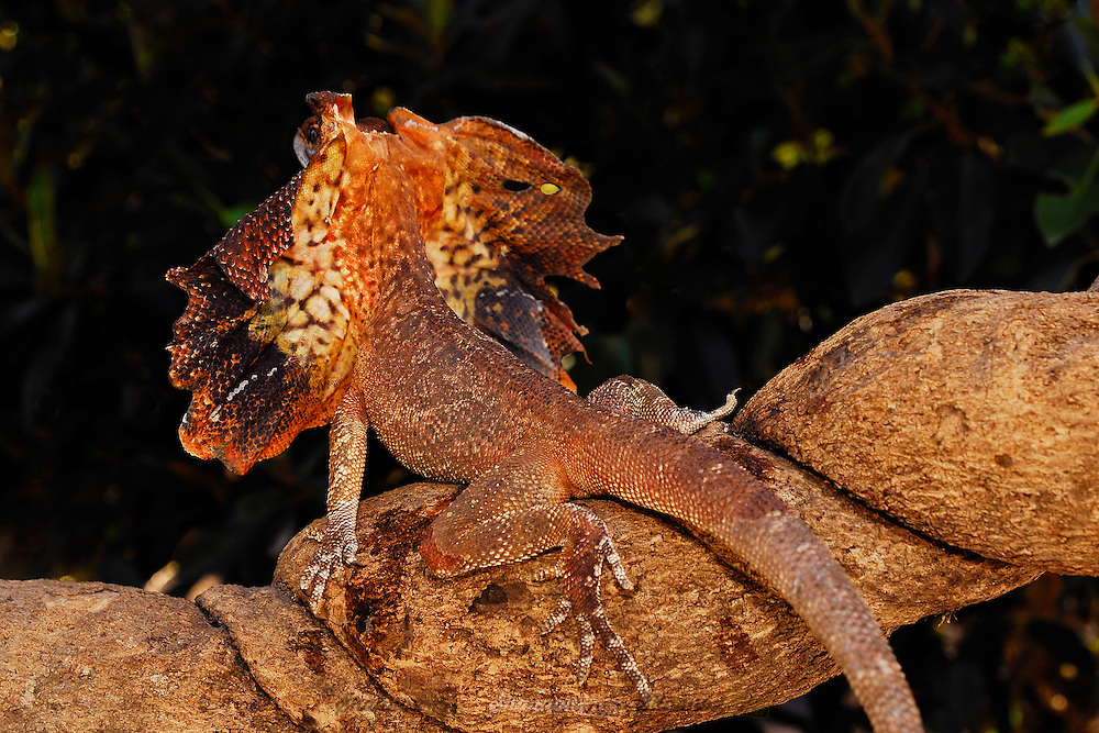 Rear view of a Frilled Lizard (Chlamydosaurus kingii) in a defensive posture.  Also known as the Frilled Neck Dragon,  native to Australia.