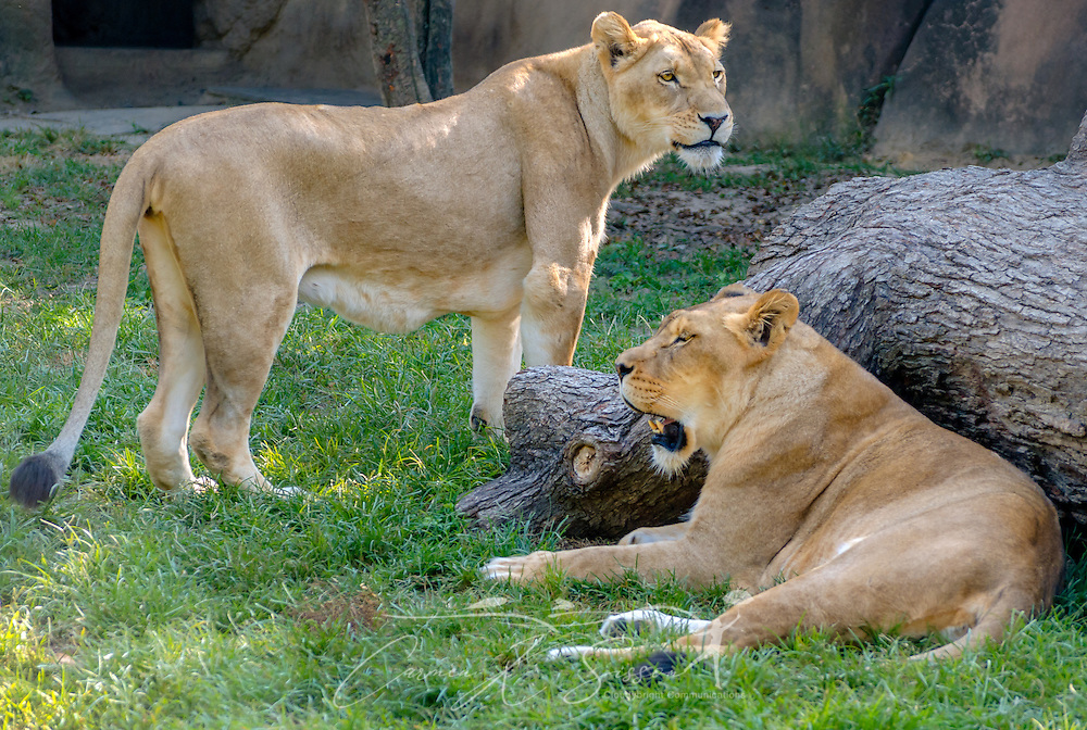 Two African lionesses (Panthera Leo), Akeelah and Jamela, are pictured at the Memphis Zoo, September 8, 2015, in Memphis, Tennessee. The zoo features more than 3,500 animals representing more than 500 species; it is one of only four zoos in the nation to feature a panda exhibit. (Photo by Carmen K. Sisson/Cloudybright)
