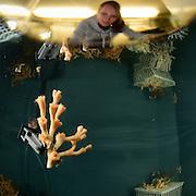 Janina Büscher vom GEOMAR sortiert die gesammelten Korallenstücke der Kaltwasserkoralle Lophelia (Lophelia pertusa) im Labor an Bord des Forschungsschiffes Poseidon. Trondheimfjord, Norwegen
