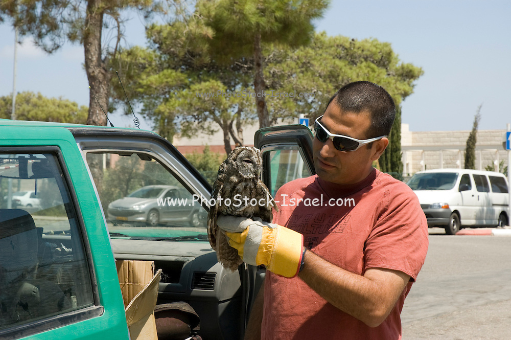 Israel, Carmel Mountains, Tawny Owl (Strix aluco) forest ranger holding the bird before releasing back to nature Summer August 2008