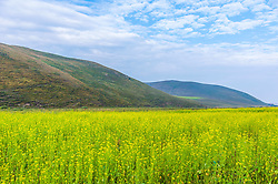 June 12, 2017 - Chengde, Chengde, China - Canola flowers in Fengning County, Chengde, north China's Hebei Provicne. (Credit Image: © SIPA Asia via ZUMA Wire)