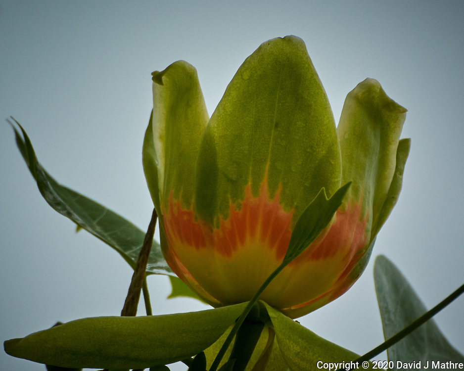 Tulip Tree flower. Image taken with a Nikon N1V3 camera and 70-300 mm VR lens (ISO 400, 300 mm, f/5.6, 1/1000 sec).