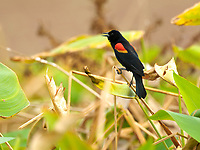 Red-winged Blackbird (Agelaius phoeniceus), Wakodahatchee Wetlands, Delray Beach, Florida, USA   Photo: Peter Llewellyn