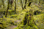 A hobbit hole or empty tree cavity for a lucky bird?  Rich moss blankets the beech forest along the Routeburn Track in Mount Aspiring National Park, New Zealand.