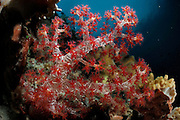 Soft coral (Dendronephthya hemprichii) Raja Ampat, West Papua, Indonesia, Pacific Ocean | Weichkoralle (Dendronephthya hemprichii)