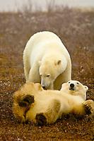 Two female polar bears sparring (play fighting) in the fog along Hudson Bay, near Churchill, Manitoba, Canada