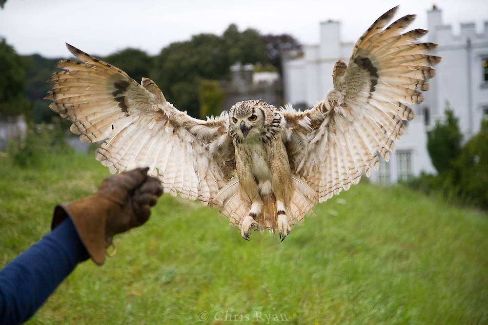 Eagle owl with impressive wingspan coming in for a landing, Dromoland Castle, Ireland