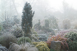 Conifers and grasses on a foggy morning at John Massey's garden.