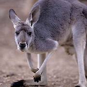Red Kangaroo, (Macropus rufus) Blue-gray colored version. Australia.