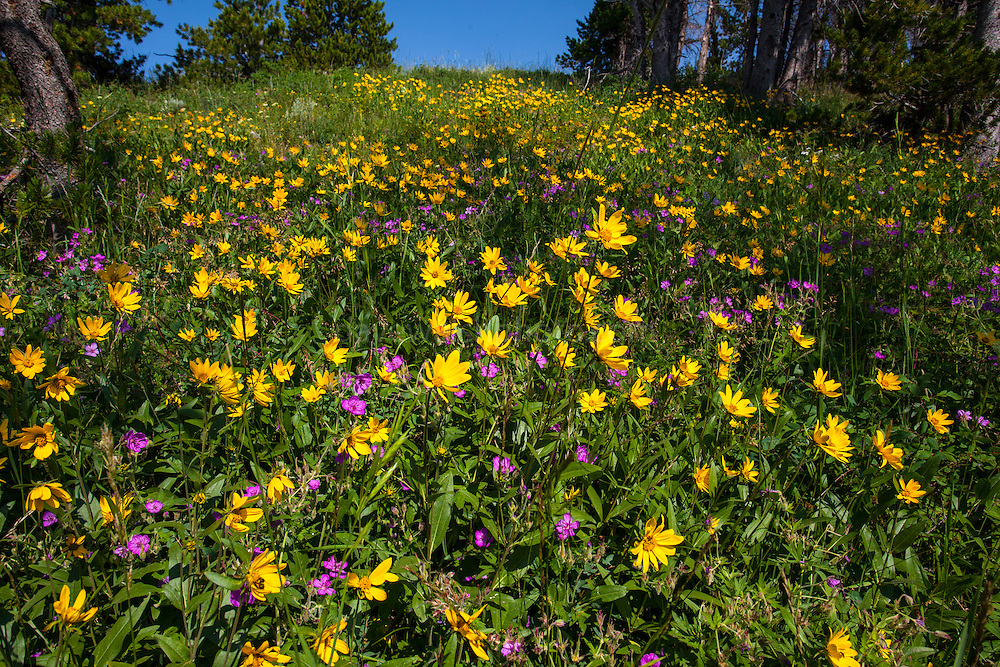 Flowers on the trail to Electric Peak, Yellowstone National Park, Wyoming. Heart leaved Arnica, Arnica cordifolia, and sticky geranium.