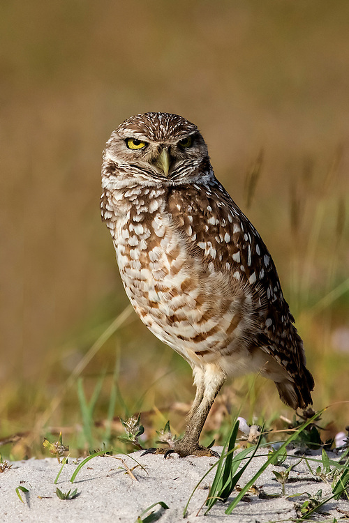The pint-sized burrowing owl is considered endangered in many areas. Western prairie-dog towns once furnished much ideal habitat, but these are now scarce, and the owls are found in golf courses, vacant lots, industrial parks, and other open areas. This owl was photographed atop his burrow in a small community in Cape Coral, Florida.