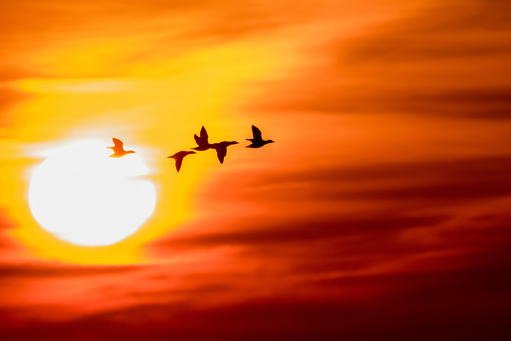 White-winged Scoters, Melanitta deglandi, Lake Ontario, Ontario, Canada