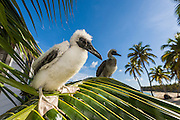 Rescued Red-footed Booby (Sula sula) chicks, Half Moon Caye Natural Monument, Belize...If a Red-footed Booby chick falls out of its nest, its parents will not retrieve it. Each morning, the Belize Audubon Society residents will look for fallen chicks and rescue any that they find. Rescued chicks are placed on tree branches for part of te day sp that they become accustomed to perching on them. The chicks will fledge once they are mature.