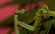 Sexual Cannibalism! Female Paying mantis Devours her partner<br /> <br /> imagine every time you made love to your partner you were dicing with imminent death. It might make<br /> you wary of having sex ever again (if you survived, that is!) yet male praying mantises can never be sure they will survive the sex act owing to their partners<br /> natural predatory instinct. Sexual cannibalism is a natural phenomenon whereby one organism (generally the female) eats the other (typically the Male) before, during or right after sex.<br /> this amazing sequence of photographers shows a female praying mantis eating her lover <br /> <br /> Photo shows:Once the head is bitten off, the males movements become more active and energetic,This results in a more vigorous and, one would surmise, more abundant and perhaps deeper delivery of sperm, here, the female is eating her partners eye!<br /> <br /> ©Oliver Koemmerling/Exclusivepix Media