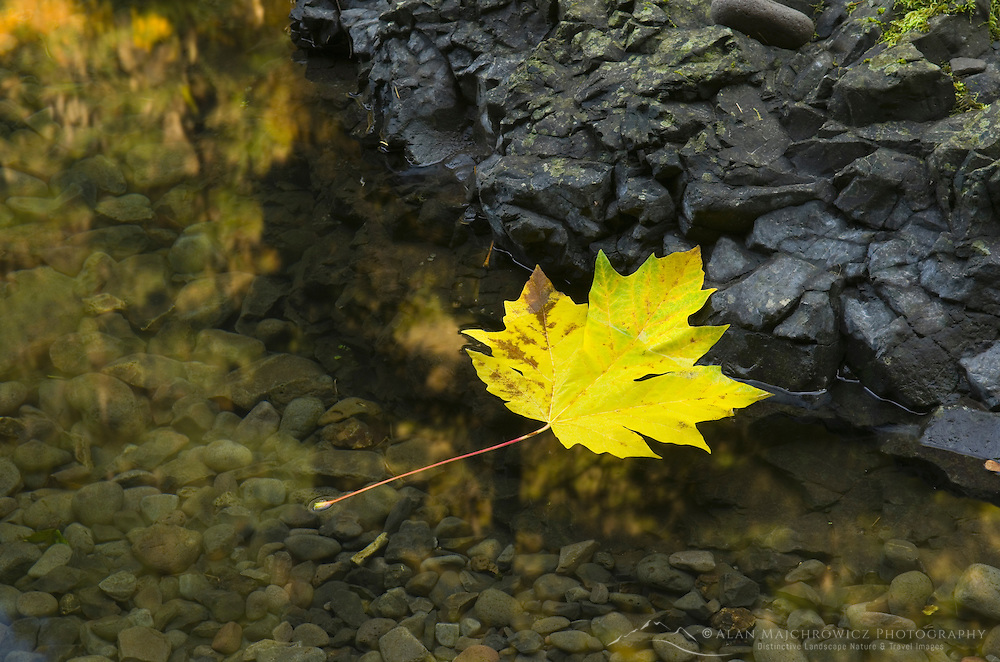 Maple leaf in Tanner Creek, Columbia River Gorge National Scenic Area Oregon