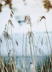 THEMENBILD - Schilf in einer Winterlandschaft, aufgenommen am 06. Februar 2019 in Kaprun, Oesterreich // Reed in a winter landscape in Kaprun, Austria on 2019/02/06. EXPA Pictures © 2019, PhotoCredit: EXPA/Stefanie Oberhauser