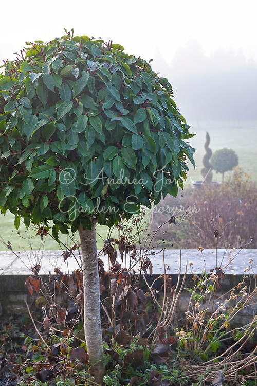 Standard bay tree (Laurus nobilis) topiary in winter at Castle Durrow, Ireland