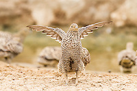 Female Namaqua Sandgrouse, Kgalagadi Transfrontier Park, Northern Cape, South Africa