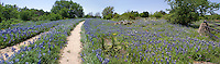 Texas Bluebonnet Panorama (Lupinus texensis), Willow City Loop, Gillespie County, Texas