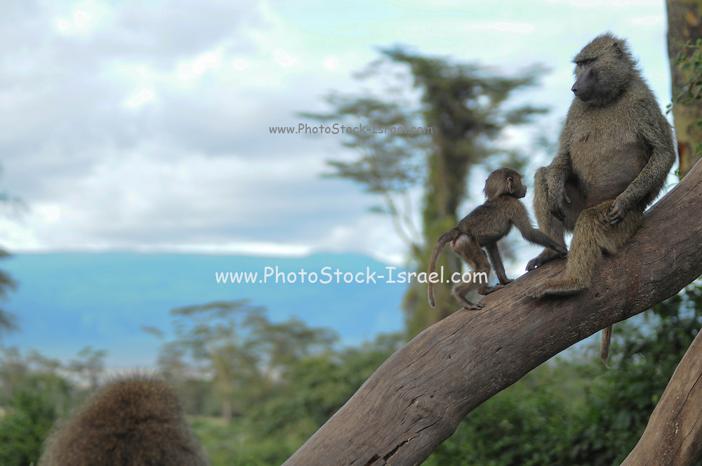 Olive Baboon (Papio anubis), also called the Anubis Baboon Mother interacting with young photographed in Africa, Tanzania, Serengeti National Park
