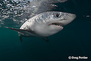 porbeagle shark, Lamna nasus, Nova Scotia, Canada ( North Atlantic Ocean )