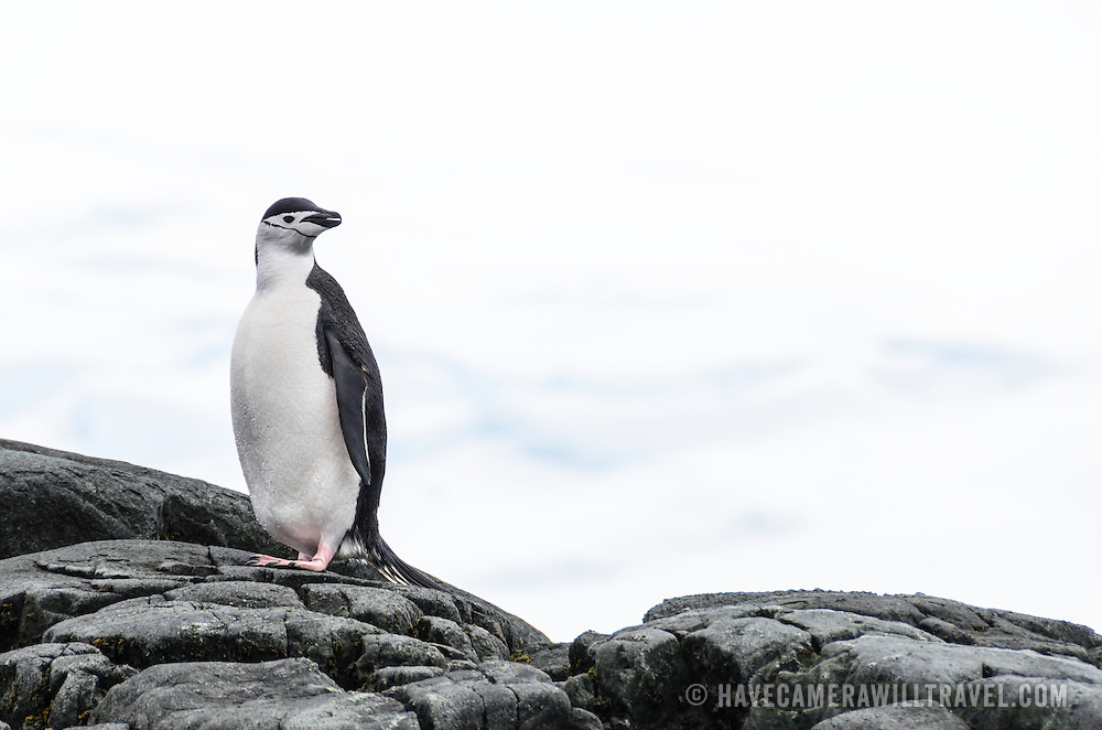 A chinstrap penguin stands on smooth rocks at Hydrurga Rocks on Two Hummock Island on the Antarctic Peninsula.