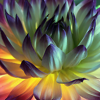 Macro Fine Art Flower Photography by Louie Rochon. Unique night studio work with time lapse photography to capture intimate dreamlike flower sculpture photographic artworks!
