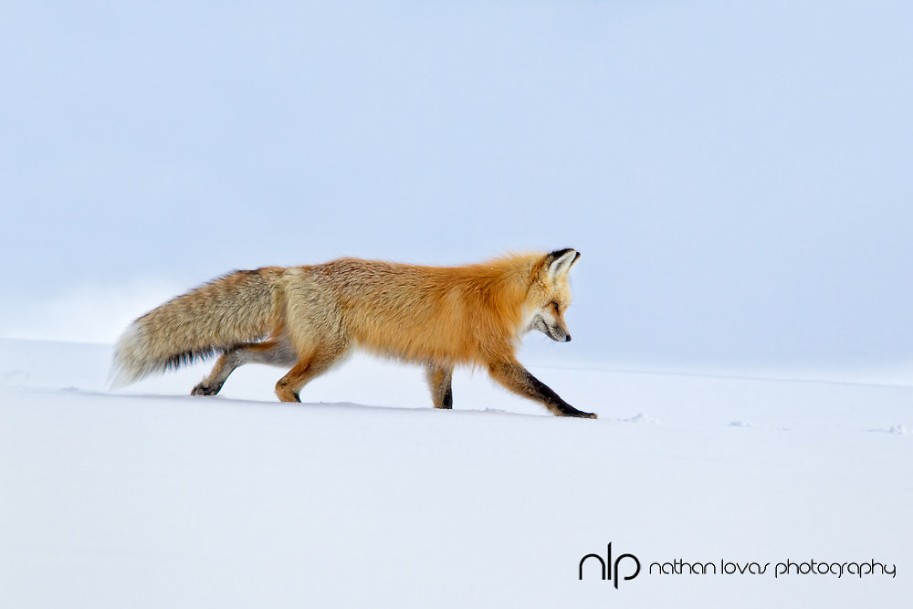 Red fox on snowy ridge  with blue sky; Yellowstone NP in wild.