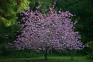 Flowering cherry in spring