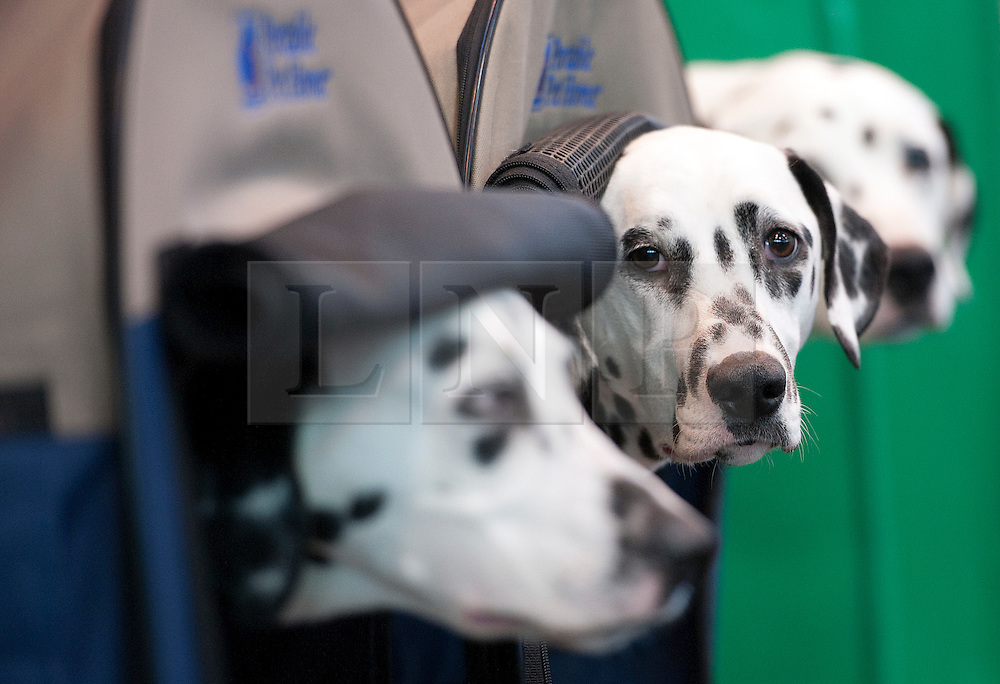 © London News Pictures. 08/03/2012.  Dalmatians waiting to go on show on Day one of Crufts at the Birmingham NEC Arena on March 8, 2012 in Birmingham.  Crufts, which is the largest annual dog show in the world, hosts over 20,000 dogs and owners who compete in a variety of categories. Photo credit : Ben Cawthra/LNP