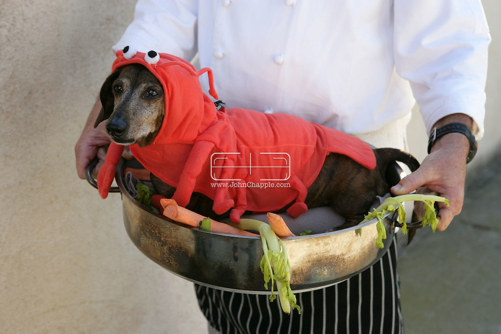 31st October 2009. Long Beach, California. The Haute Dog Howl'oween Parade in Long Beach. Pictured is Ziggy the brindle daschund as a lobster dish. PHOTO © JOHN CHAPPLE / www.chapple.biz.john@chapple.biz  (001) 310 570 9100.