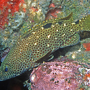 Rock Hind inhabit reefs and rocky inshore areas in Tropical West Atlantic, picture taken Key Largo, FL.