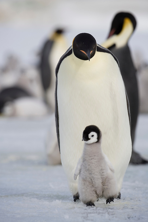 Antarctica, Snow Hill Island, Emperor Penguin Chick (Aptenodytes forsteri) walking on frozen sea ice on sunny afternoon