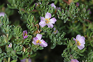 SEA-HEATH Frankenia laevis (Frankeniaceae) ** Prostrate<br /> Branched, mat-forming and woody perennial. Restricted to the drier, upper reaches of saltmarshes. FLOWERS are 5mm across with 5 pink and crinkly petals (Jun-Aug). FRUITS are capsules. LEAVES are small and narrow with inrolled margins; densely packed and opposite on side shoots. STATUS-Local, from Hants to Norfolk only.