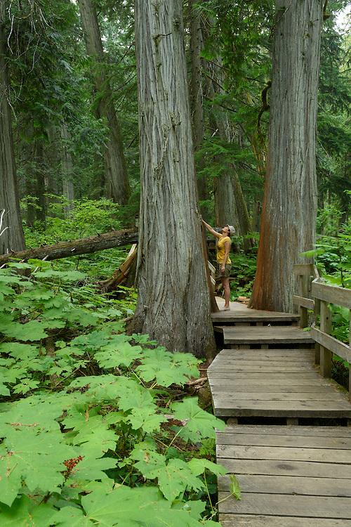 Canada, British Columbia,Mt. Revelstoke National Park, Giant cedar boardwalk, MR 0009