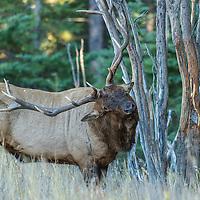 mature bull elk rubbing sapling
