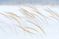 Dunegrass bends in the frigid winds off Lake Superior.<br /> Au Train, Michigan