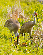 Sandhill crane family in wetland, © 2014 David A. Ponton