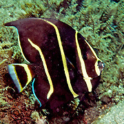 Gray Angelfish inhabit shallow patch reefs and surround areas in Tropical West Atlantic; picture taken Blue Heron Bridge, Palm Beach, FL.