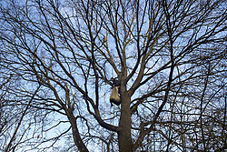 Harefield, UK. 20 January, 2020. An activist engages in tree protection work high up in a tree at the Colne Valley wildlife protection camp. Extinction Rebellion, Stop HS2 and Save the Colne Valley had reoccupied the camp two days before as part of an ongoing attempt to protect ancient woodland threatened by the HS2 high-speed rail link after a small group of Stop HS2 activists had been evicted by bailiffs over the course of the previous two weeks. 108 ancient woodlands are set to be destroyed by the high-speed rail link.