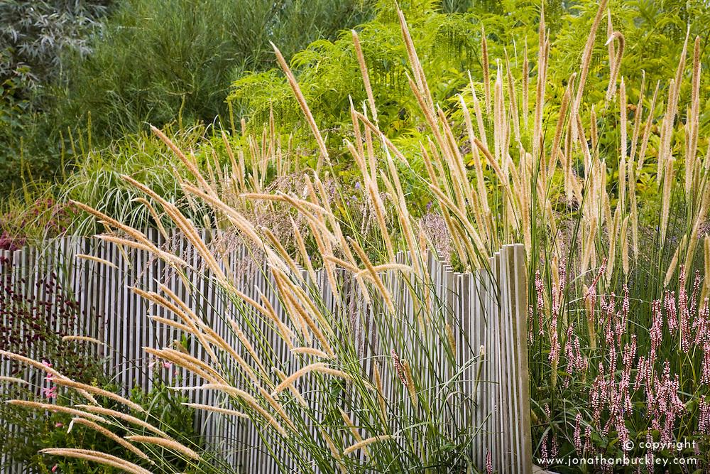 Pennisetum macrourum growing through fence at Marchants Plants. Design: Graham Gough