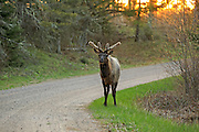 Large bull elk from the Clam Lake herd feeds along a gravel road in northern Wisconsin
