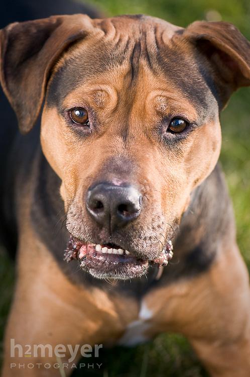 Boxer Hound mix.  Owner Scott Lozier & Michelle Taylor , Pet Portrait Photography